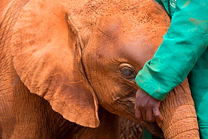 African elephant (Loxodonta africana) baby with keeper at  David Sheldrick African Elephant Orphanage. Nairobi National Park, Nairobi, Kenya. - Inaki  Relanzon