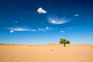 Elm tree (Ulmus) in Gobi desert, South Mongolia.  -  Inaki  Relanzon