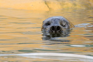 One eyed adult male Common / Harbour seal (Phoca vitulina) 'Babyface' with nostrils wide open,  in a pool where he is a long-term resident, Cornish Seal Sanctuary, Gweek, Cornwall, UK, January.  -  Nick Upton