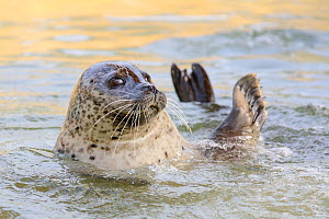 Adult female Common / Harbour seal (Phoca vitulina) 'Sija' waving a flipper in a pool where she is a long-term resident, Cornish Seal Sanctuary, Gweek, Cornwall, UK, January.  -  Nick Upton