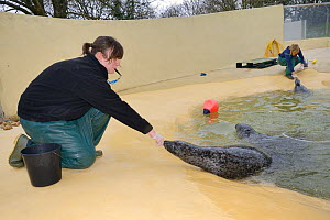 Hannah Mathias target training a Common / Harbour seal (Phoca vitulina) to put its nose her fist, Cornish Seal Sanctuary, Gweek, Cornwall, UK, January. Model released. - Nick Upton