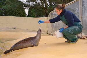 Keeper Jenny Lewis feeding Common / Harbour seal pup (Phoca vitulina) 'Buddy', a long-term resident at Cornish Seal Sanctuary, Gweek, Cornwall, UK, January. Model released.  -  Nick Upton