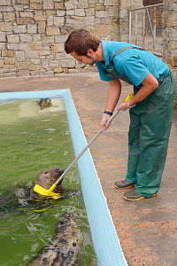 Dan Jarvis giving 'Ray' a brain damaged adult male Grey seal (Halichoerus grypus) a rub with a broom at the Cornish Seal Sanctuary. Gweek, Cornwall, UK, November.  Model released.  -  Nick Upton