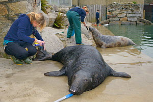 Adult male Grey seal (Halichoerus grypus) 'Flipper' touching nose to target stick while keeper Kate Owen treats a grazed tail with antibiotic spray. Gweek, Cornwall, UK, November. Model released. - Nick Upton