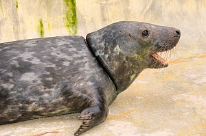Rescued Grey seal pup (Halichoerus grypus) 'Joker' with severe injuries from entanglement in a fishing net. Kept in isolated nursery pool where it will be kept until strong enough to join other pups a...  -  Nick Upton