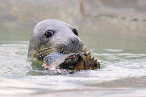 Rescued Grey seal pup (Halichoerus grypus) feeding on  Mackerel in an isolated nursery pool where it will be kept until strong enough to join other pups and then be released back to the sea, Cornish S...  -  Nick Upton