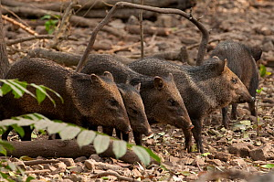Collared peccary (Pecari tajacu) group, captive, occurs in the Americas. - Roland  Seitre
