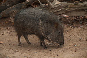 Chacoan peccary (Catagonus wagneri) captive, occurs in the Gran Chaco of Paraguay, Bolivia, and Argentina. - Roland  Seitre