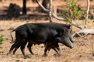 Wild boar (Sus scrofa) two females walking side by side, Central Cape York, Oriners, Queensland, Australia. Introduced species - Roland  Seitre