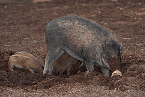 Visayan warty pig (Sus cebifrons) rooting with piglet, captive, endemic to the Visyan Islands. Philippines  -  Roland  Seitre