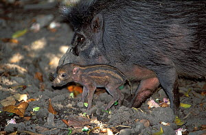 Visayan warty pig (Sus cebifrons) with small piglet, captive, endemic to the Visayan Islands, central Philippines. Critically endangered species.  -  Roland  Seitre