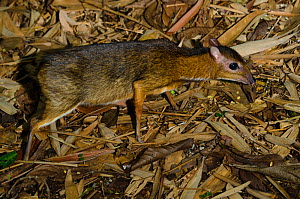 Lesser mouse-deer (Tragulus kanchil) captive, occurs in  Southeast Asia. - Roland  Seitre