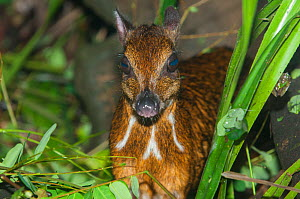 Java mouse-deer (Tragulus javanicus) with 'tapetum lucidum' in eyes reflecting light, captive, occurs in Java.  -  Roland  Seitre