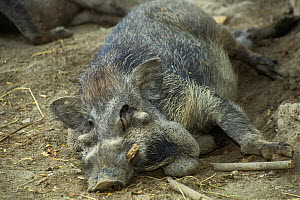 Javan warty pig (Sus verrucosus) resting, captive, endemic to Indonesia.  -  Roland  Seitre