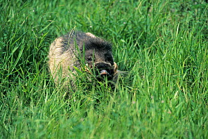 Visayan warty pig (Sus cebifrons) captive, endemic to the Visayan Islands, central Philippines. Critically endangered species.  -  Roland  Seitre