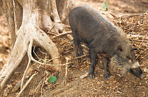 Palawan bearded pig (Sus ahoenobarbus) captive, endemic to the Philippines.  -  Roland  Seitre