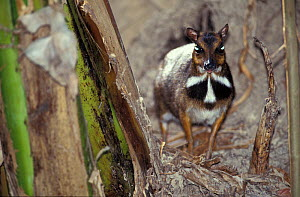 Philippine mouse-deer (Tragulus nigricans) 'tapetum lucidum' in eyes shining with reflected light, captive endemic to Balabac, Philippines.  -  Roland  Seitre