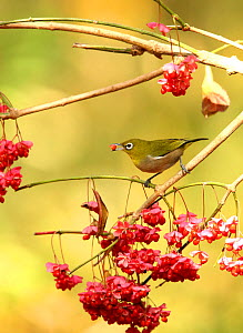 Japanese white eye (Zosterops japonicus) feeding on berries, Tokyo, Japan, December.  -  Aflo