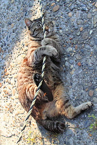 Tabby cat playing with a rope. Konan, Aichi, Japan. - Aflo