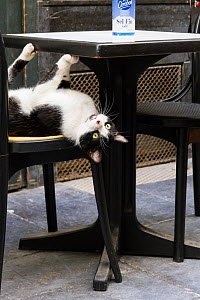 Cat resting upside down on outdoor chair next to table, Brussels, Belgium. - Aflo