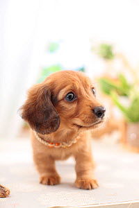 Miniature dachshund puppy with necklace. - Aflo