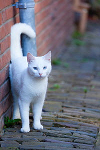 Blue eyed white cat standing in alley. Netherlands. - Aflo