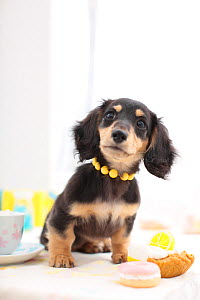 Dachshund puppy with necklace, sitting with cakes. - Aflo