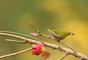 Japanese white eye (Zosterops japonicus) with berry, Tokyo, Japan, December.  -  Aflo
