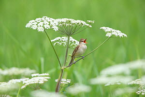 Great reed warbler (Acrocephalus arundinaceus)  singing, perched in umbellifer,  Saitama, Japan, May. - Aflo