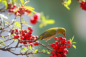 Japanese white eye (Zosterops japonicus) feeding on berries, Tokyo, Japan.  -  Aflo