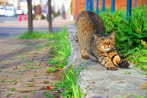 Tabby cat stretching outdoors, Nagoya, Aichi, Japan.  -  Aflo