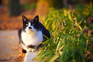 Black and white cat with 'moustache' markings sitting outdoors, Nagoya, Aichi, Japan. - Aflo
