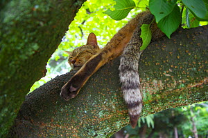 Tabby cat resting on tree branch with tail hanging down, Nagoya, Aichi, Japan. - Aflo