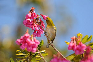 Japanese white eye (Zosterops japonicus) feeding on flowers, Taiwan.  -  Aflo