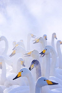 Flock of Whooper swans (Cygnus cygnus) in misty lake, Kotan, Hokkaido, Japan. February. - Aflo