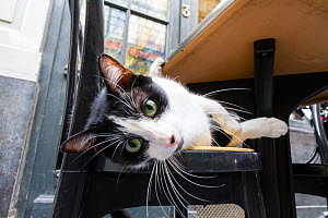 Black and white cat lying down on chair, looking at camera with curiosity. - Aflo
