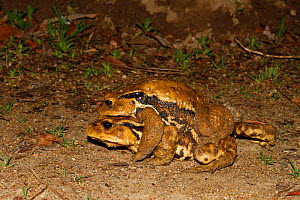 Japanese common toad (Bufo japonicus) pair in amplexus at night, Aichi, Japan, March. - Aflo