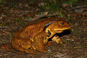 Japanese common toad (Bufo japonicus) at night, Aichi, Japan, March. - Aflo