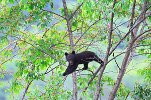 Japanese black bear (Ursus thibetanus japonicus) cub climbing tree, Takayama, Japan, July.  -  Aflo