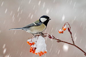 Japanese tit (Parus minor) feeding on Japanese rowan (Sorus commixta) in snow, Yatsugatake,  Japan, February. - Aflo