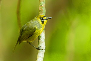 Bonin white-eye (Apalopteron familiare) perched, Hahajima, Ogasawara Islands., Japan.  -  Aflo