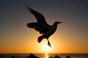 Black-backed gull (Larus marinus) in flight, silhouetted in front of sunset, California. May. - Aflo