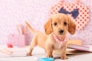 Miniature dachshund with pink bead necklace in studio. - Aflo