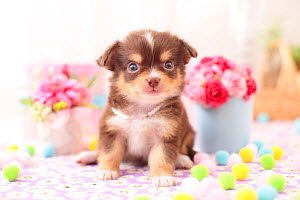 Chihuahua puppy with flowers. - Aflo