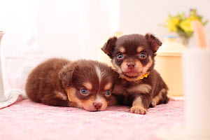 Two Chihuahua puppies resting. - Aflo