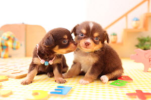 Two Chihuahua puppies restingin nursery. - Aflo