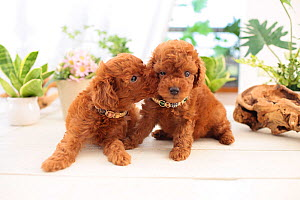 Chocolate toy poodle puppies in studio. - Aflo