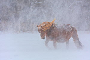 Horse walking through heavy snowfall, Shimokita Peninsula, Hokkaido, Japan.  -  Aflo