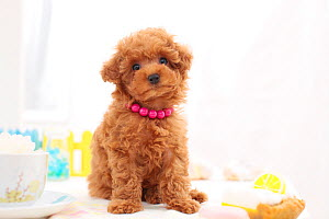 Chocolate brown toy poodle puppy  wearing pink beads in studio.  -  Aflo