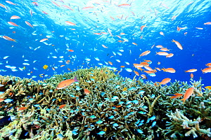 Jewel basslet (Pseudanthias squamipinnis) shoal with and Damselfishes (Chromis) surrounding coral reef with Acropora corals, Kerama Islands, Japan.  -  Aflo